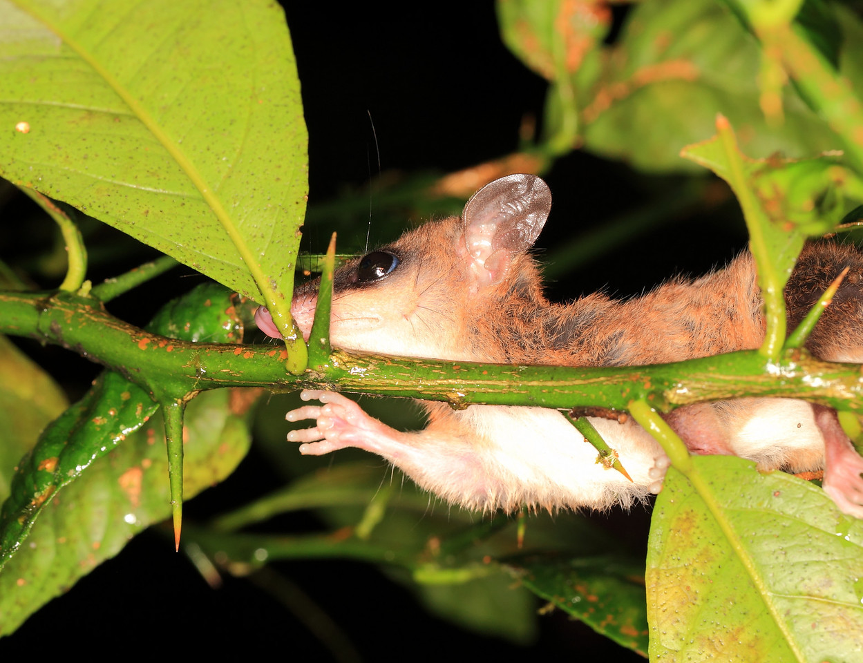 Mexican Mouse Opossum (Marmosa mexicana)