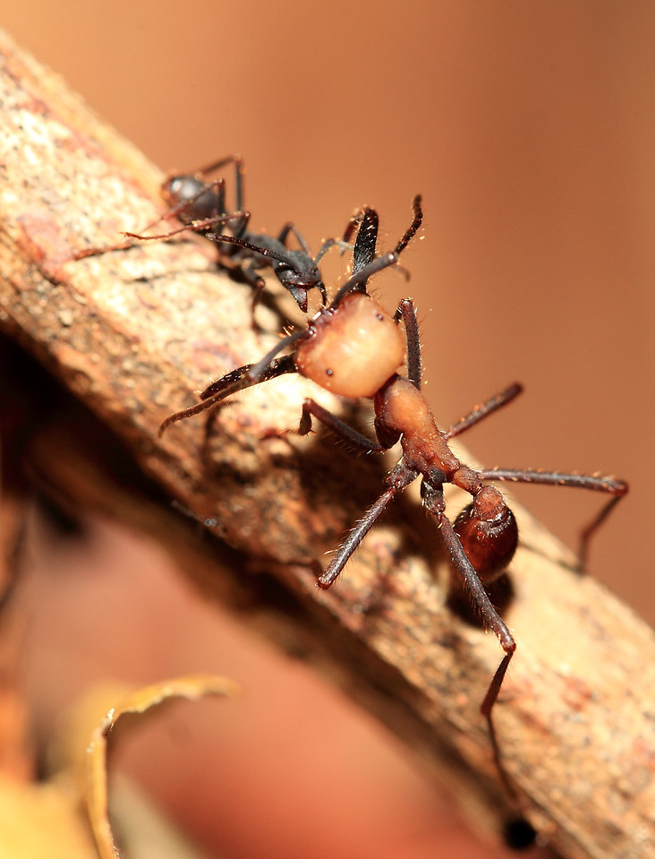 Soldier army ant interacting with a worker