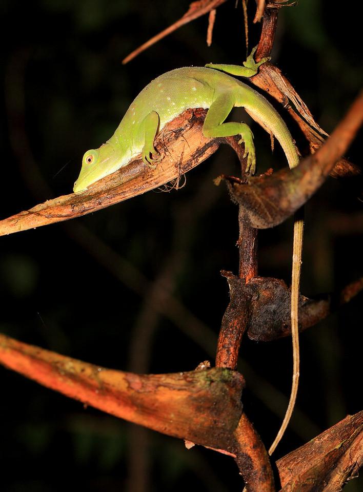 Sleeping lizard (Norops biporcatus)