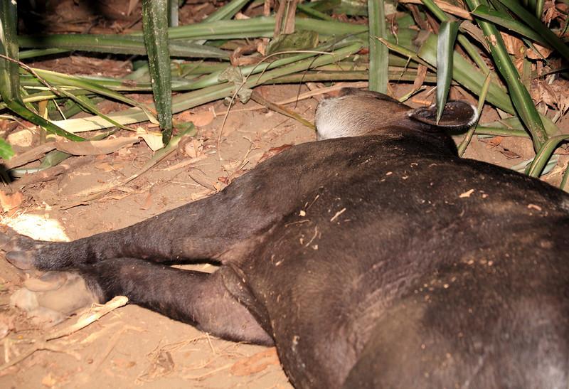 Sleeping tapir, Corcovado National Park