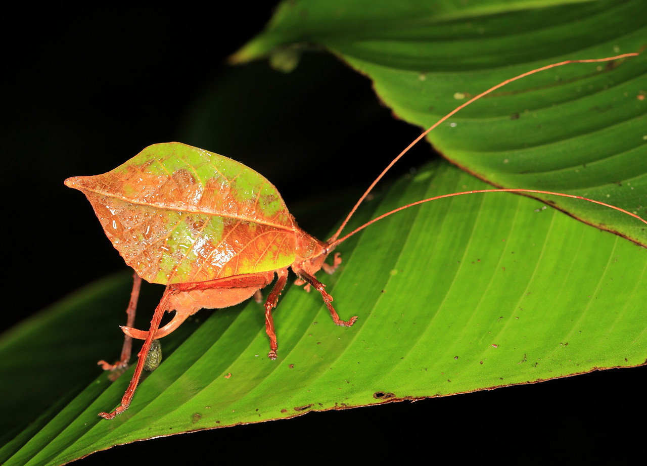 Cryptic katydid (Orthoptera, Tetigonidae) camoflaged as a leaf, replete with a drip tip.