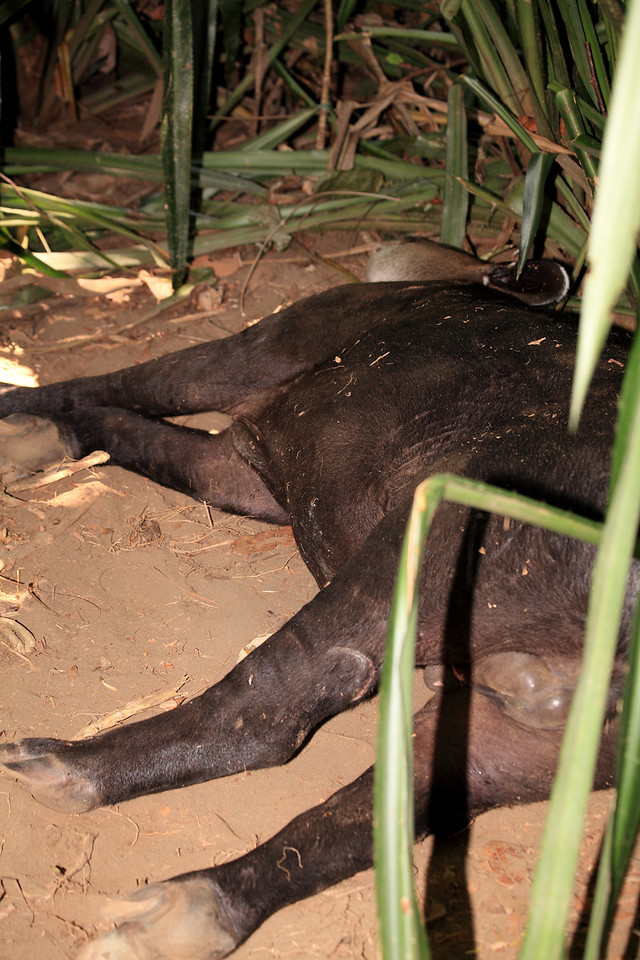Adult male tapir, sleeping on the ground at midday in Corcovado National Park.  He was perfectly comfortable with people being nearby and clicking cameras and firing flashes.  Tapirs in this part of the park near Sirena are often quite habituated to people.