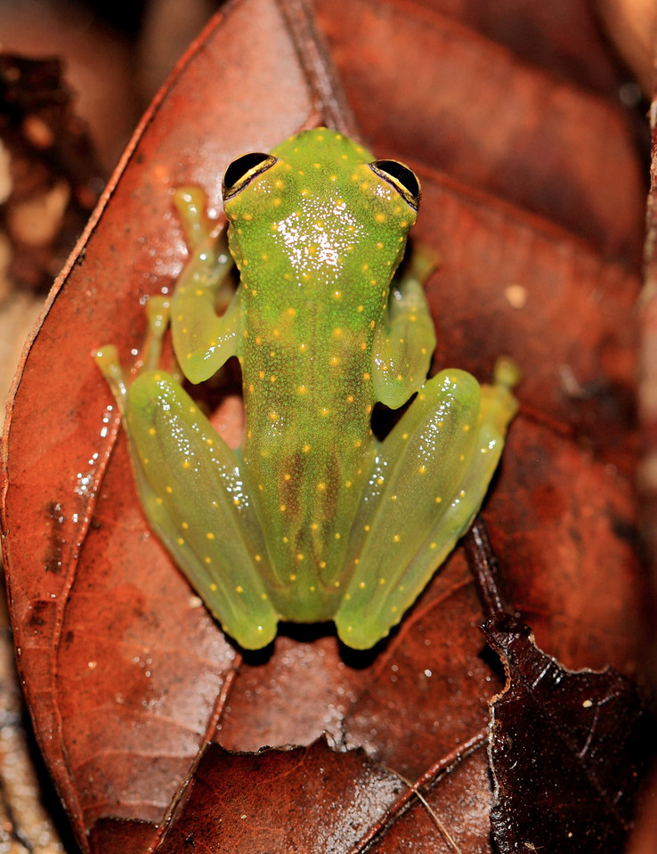 Glass frog (Cochranella albomaculata) beside a stream at Campanario, Osa Peninsula, Costa Rica