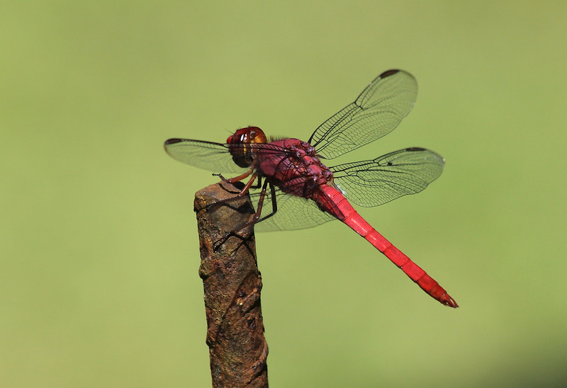 Carmine Skimmer dragonfly (Orthemis discolor)