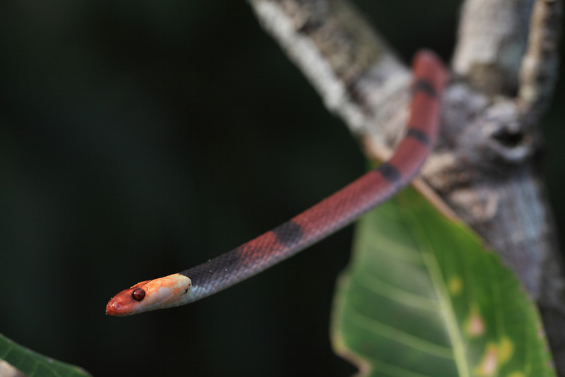 Banded tree snake (Tripanurgos compressus), Campanario