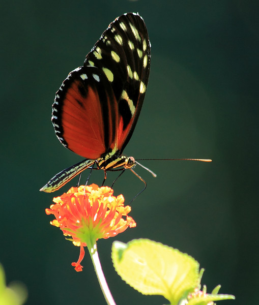 Heliconius hecale butterfly on a Lantana flower