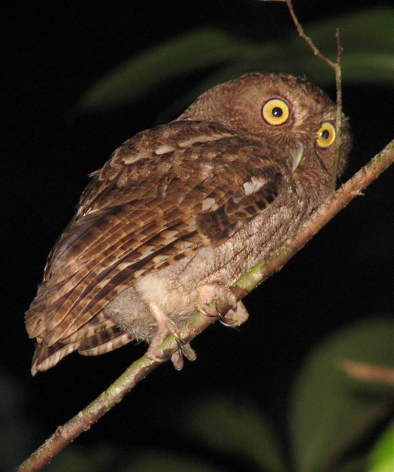 Vermiculated Screech-Owl (Otus guatemalae)