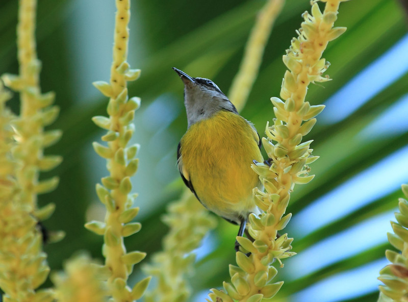 Bananaquit feeding from flowers of a coconut palm
