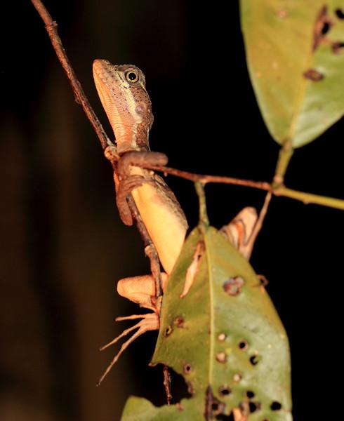 Basilisk lizard sleeping in vegetation above a stream