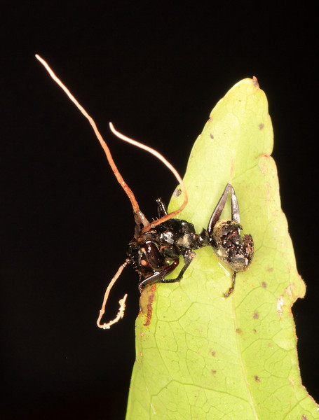 An ant killed by an entomopathogenic fungus.