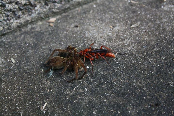 Spider wasp (Tachypompilus sp.) with paralyzed Huntsman (Heteropodidae) prey.  Photo by Laura Russo.