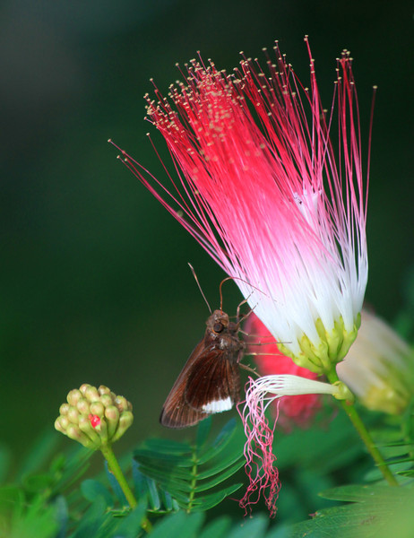 Skipper butterfly sipping from a Mimosa blossom or a fiber optic cluster; not sure which.