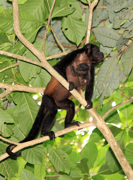 Mantled howler monkey (Alouatta palliata). Note the large bot fly infestation on the baby's lower back.