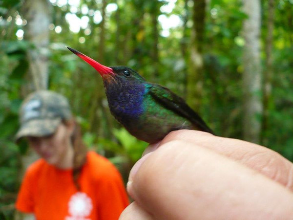 Blue throated golden tail hummingbird (Hylocharis eliciae). Photo by Laura Russo.