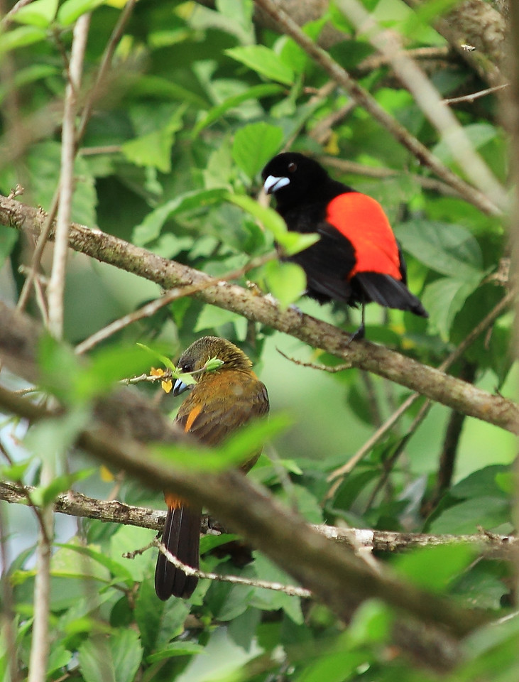 Pair of scarlet-rumped tanagers