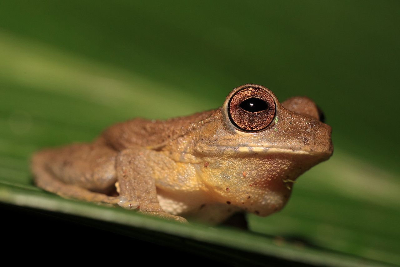 A Drab tree frog (Smilisca sordida)
