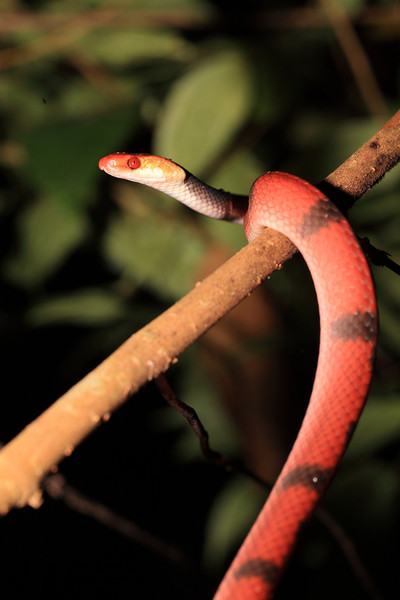 Banded tree snake (Tripanurgos compressus) that we found in a tree at night along a small stream at Campanario