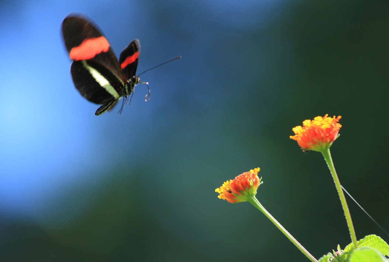 Heliconius butterfly (H. erato or H. melpomene) approaching Lantana flowers