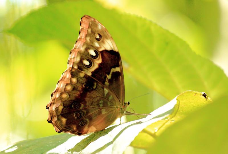 Morpho amathonte female