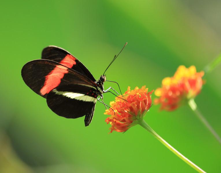 Heliconius butterfly (H. erato or H. melpomene) on Lantana flowers