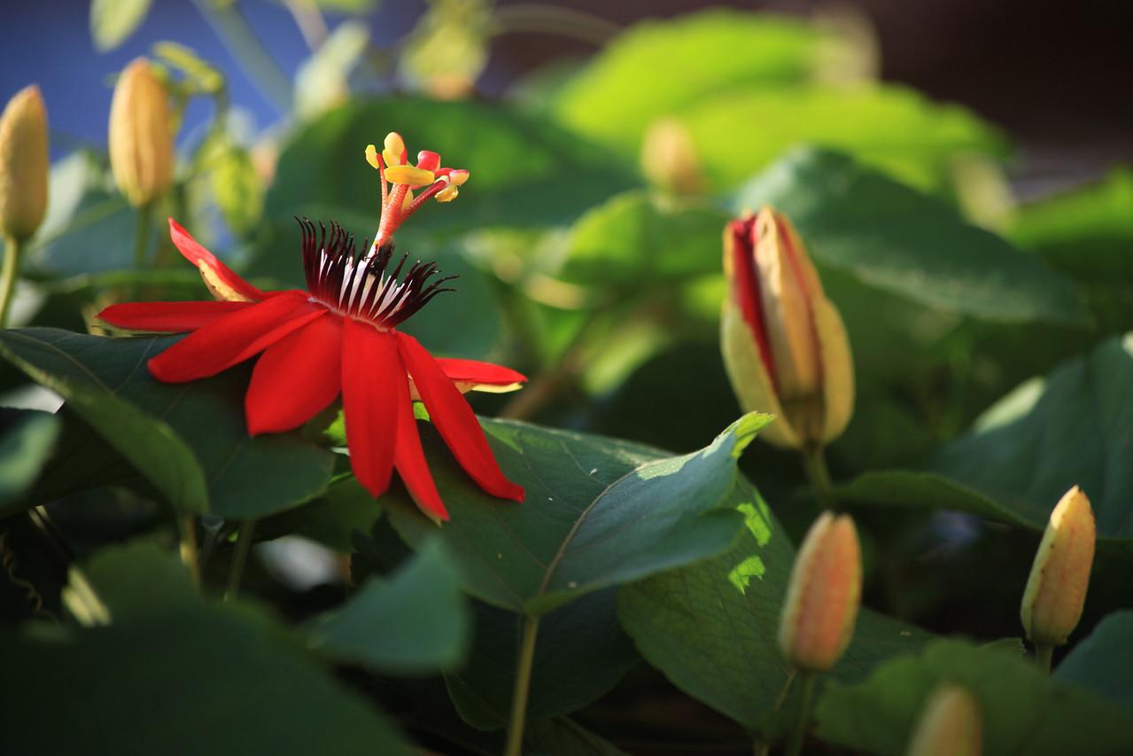 Passionflower vine (Passiflora miniata), Uvita