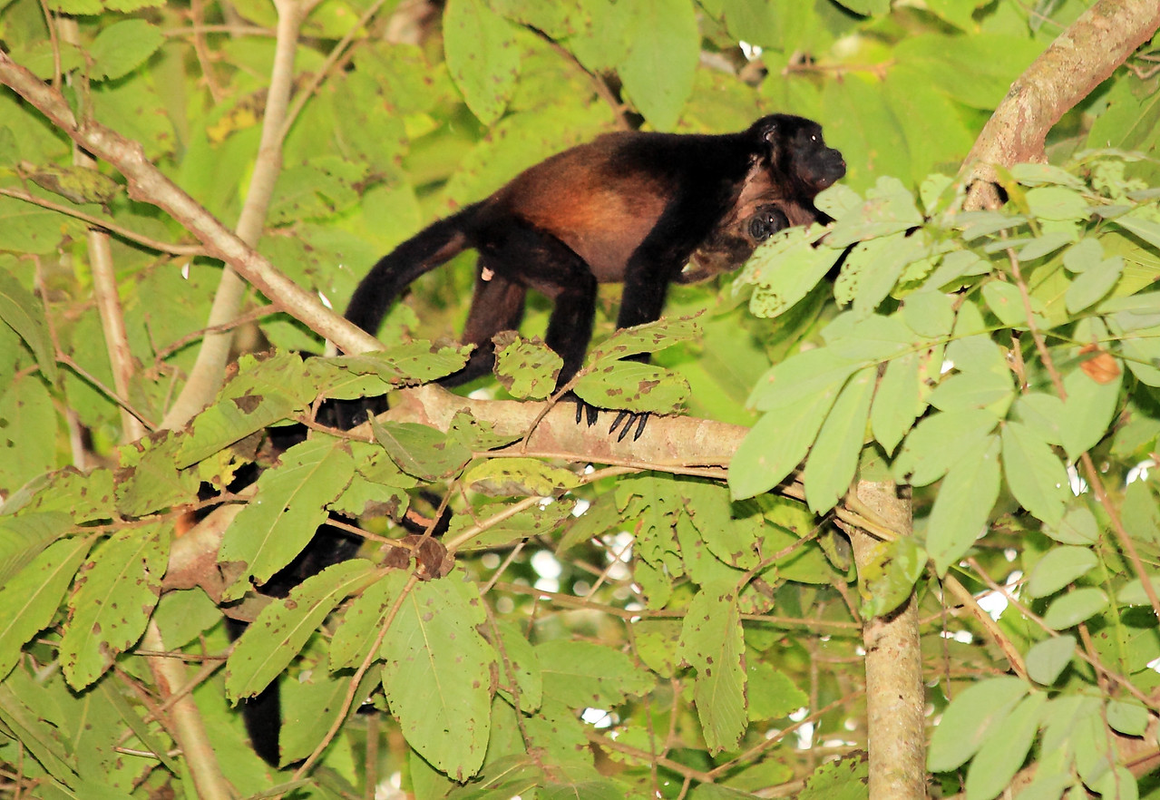 Mantled howler monkey (Alouatta palliata)