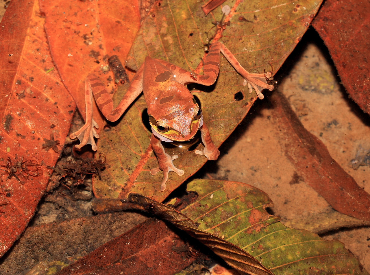 Masked tree frog (Smilisca phaeota) calling in a small stream at night, Campanario