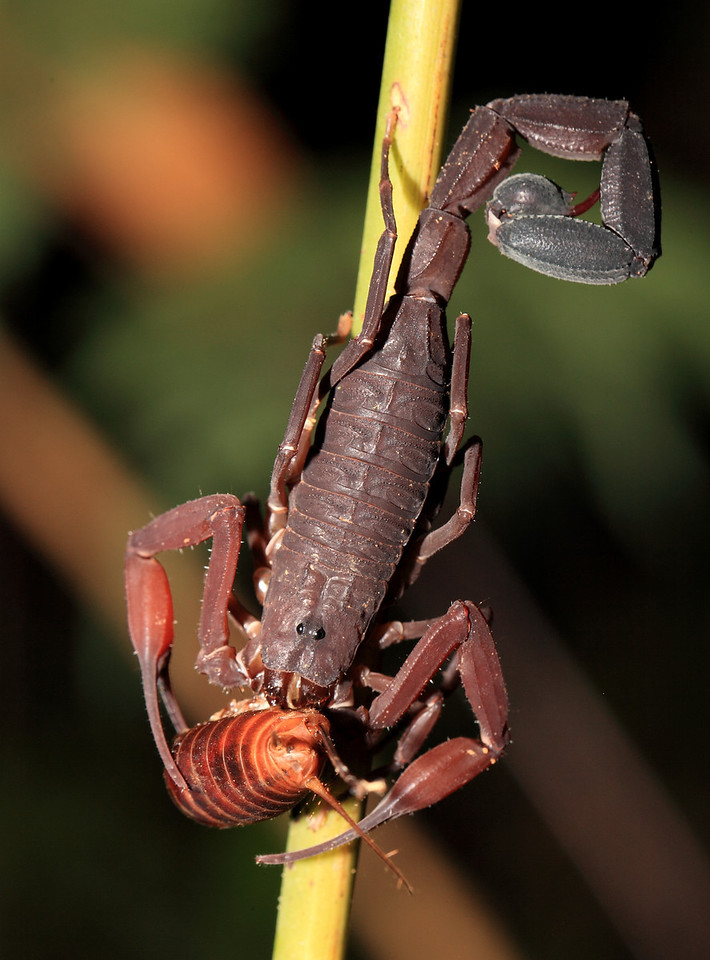 Scorpion eating the abdomen of a cricket