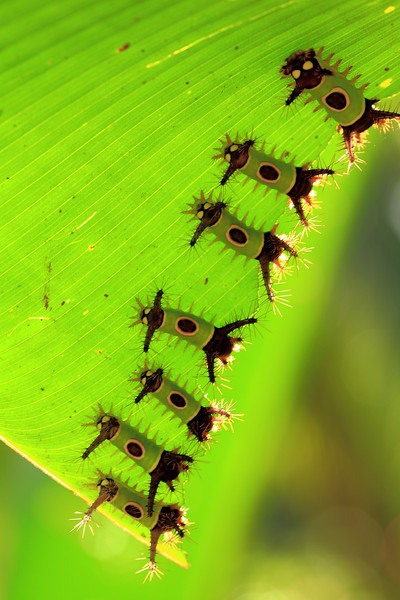 Larvae of the Saddleback Caterpillar moth (Sibine stimulea).  I managed to knock my forehead against the whole group of these caterpillars and learned the hard way about their urticating spines, which caused an instant and intense burning pain, which subsided after about 15 minutes and left no rash.