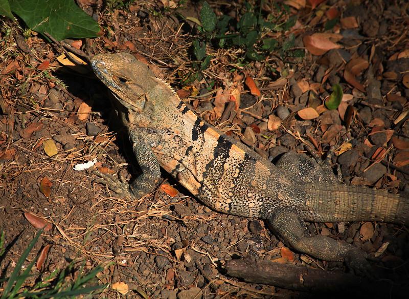 Black Iguana, aka Black Ctenosaur (Ctenosaura similis)