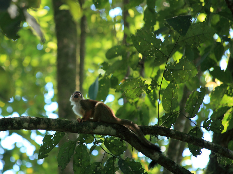 Squirrel monkey, Corcovado National Park