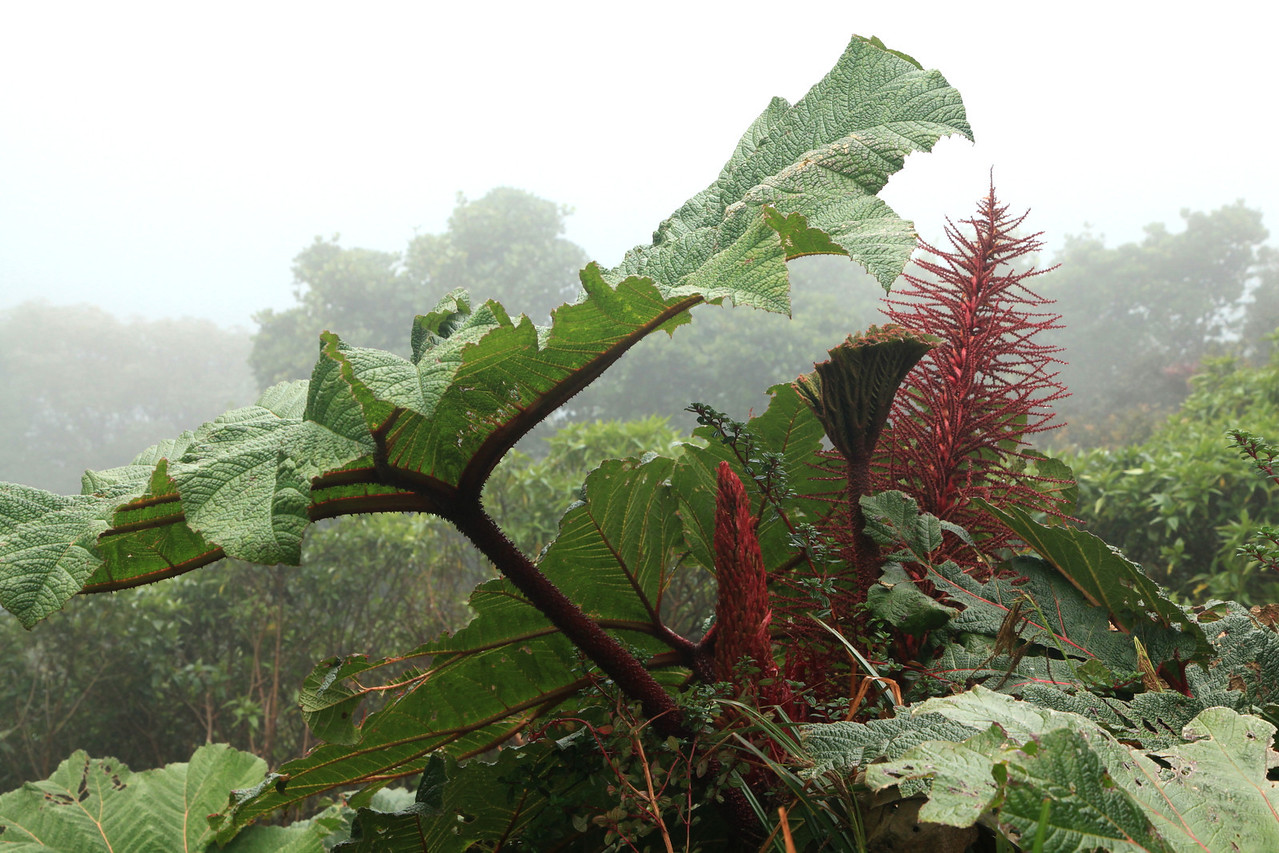Leaves and flowers of Gunnera insignis, Volcan Poas, Costa Rica