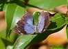 Boisduval's Leafwing<br /> Memphis oenomais<br /> Playacar, MX