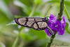 Giant Glasswing<br /> Methona confusa <br /> San Jorge de Milpe