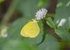 Mimosa Yellow - Eurema nise