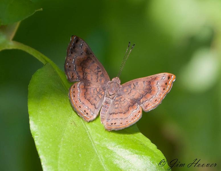 Unknown calephelis sp.