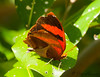 Red-striped Leafwing<br /> Siderone galanthis (Mexican segregate)<br /> Playacar, MX