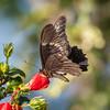 Yucatan Swallowtail