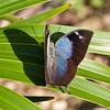 Laurel Leafwing - Female<br /> Memphis morvus boisduvali