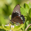 Yellow-spotted Swallowtail