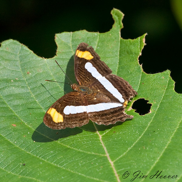 Confusing Sister<br /> Adelpha iphicleola