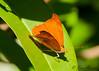 Orange Banner<br /> Temenis laothoe<br /> Playacar, MX