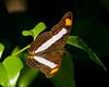 Spot-celled Sister<br /> Adelpha basiloides<br /> Playacar, MX