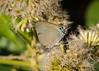 Bitias Hairstreak (Panthiades bitias)
