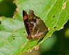 Pavon Emporer - male<br /> Doxocopa pavon<br /> Playacar, MX