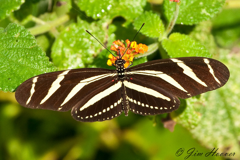 Zebra Heliconian<br /> Heliconius charitonia