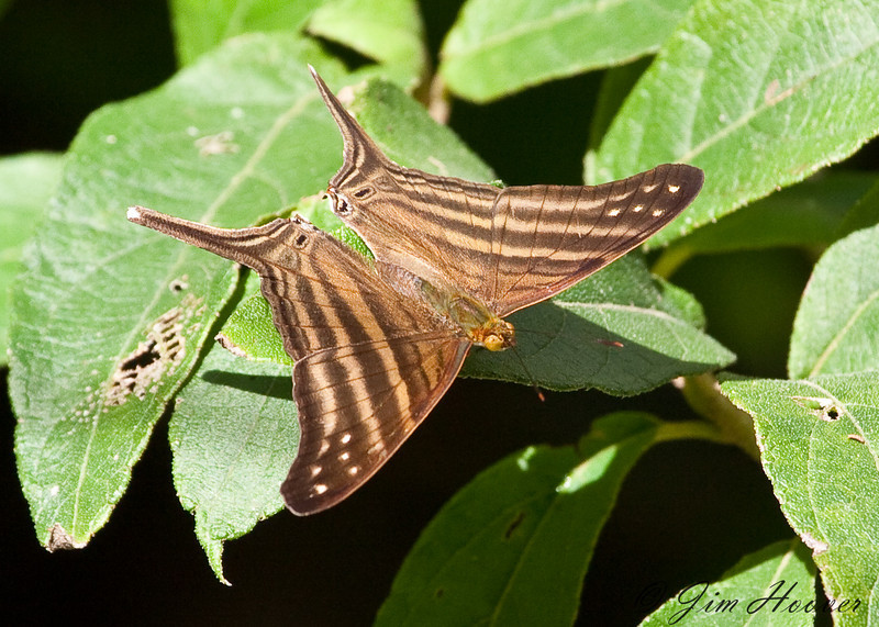 Many-banded Daggerwing<br /> Marpesia chiron