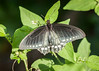 Yucatan Pipevine Swallowtail