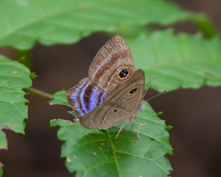 Purple-washed Eyed-Metalmark<br /> Mesosemia lamachus
