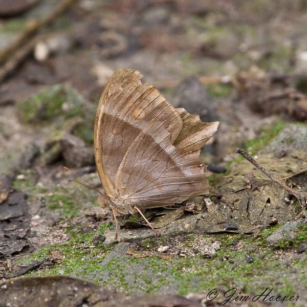 Common Ur-Satyr<br /> Taygetis thamyra